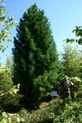 Элитные деревья Сибирского кедра для озеленения!